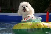 fifi the world famous Bichon Frise enjoys a Hot Summer Afternoon in her float toy boat in her personal swimming pool poster