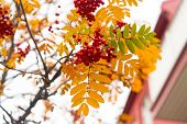 Red Berries And Yellow Leaves On Branch Close Up. Autumn Season. Fall Harvest Concept. Autumn Rowan  poster