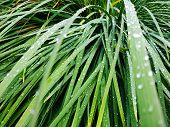 Fresh Green Grass With Dew Drops Close Up. Water Driops On The Fresh Grass After Rain. Light Morning poster