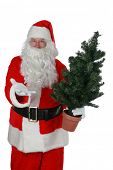 Santa Claus holding a small christmas tree  isolated on white  room for your text