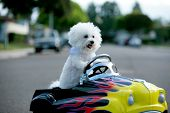 picture of blood drive  - a bichon frise dog drives her hot rod pedal car around town - JPG