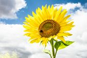 Single,sunny Flower Macro Photo And Cloudy Sky. poster