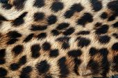 Real Leopard Fur
