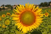 Sunflower In The Vilalge Field