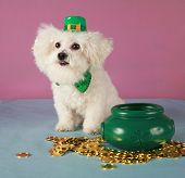 a Bichon Frise wears her Saint Patricks Day Leprechaun hat and sits by her pot of gold coins