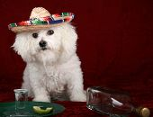 a beautiful Bichon Frise celebrates Cinco de Mayo with Tequila and a wedge of lime and salt