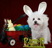 A Pure Breed Bichon Frise Smiles as she fills in for the Easter Bunny in this Easter concept shot on