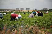 unidentifable workers pick green beans in a field