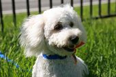 stock photo of maltipoo  - Thor a  - JPG