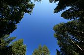 picture of redwood forest  - looking up into the blue sky through a forest of redwood trees - JPG