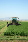A genuine combine harvester cutting a field of alfalfa in a field in central california on a summer