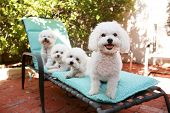 stock photo of bichon frise dog  - beautiful pure breed bichon frise dogs smile as they pose for their portrait while out side on a lounge chair - JPG
