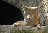 foto of north american gray wolf  - Coyote  - JPG