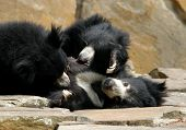 Family of sloth bears (Melursus ursinus)