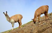 Brown llama (lama glama), mammal living in the South American Andes. poster