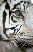 White tiger (Panthera tigris tigris) eye