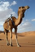 stock photo of hump day  - Arabian camel or Dromedary  - JPG