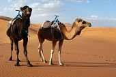 Arabian camels or Dromedaries (Camelus dromedarius) in the Sahara Desert, Morocco.