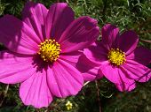 2 Pink Cosmos
