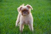 Puppy standing in the grass. Breed - Griffon Bruxellois. Seven months old. poster