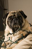 Pug Wrapped in Lights
