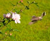 image of veer  - Hummingbird veering fast to an Althea flower - JPG