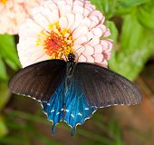 Dorsal view of a bright colorful Green Swallowtail