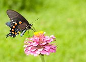 Green Swallowtail on Zinnia against bright green background