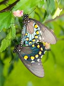 Green Swallowtails mating