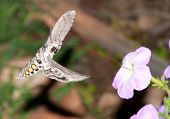 picture of hornworms  - Tomato hornworm moth in flight - JPG