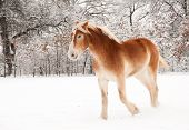Belgian Draft horse in snow