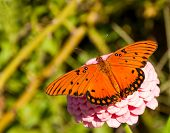 Dorsal view of a beautiful Gulf Fritillary butterfly