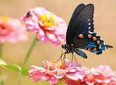 Beautiful Pipevine Swallowtail butterfly feeding on pink Zinnia