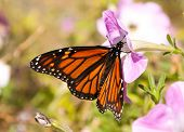 Migrating Monarch butterfly replenishing its energy supply by feeding on a pink Petunia flower on a
