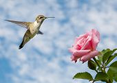 Tiny juvenile male Hummingbird hovering close to a Rose against cloudy skies