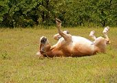 Belgian Draft horse  rolling in green grass