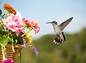 Juvenile male Hummingbird hovering, getting ready to feed on a flower in a basketful of colorful flowers