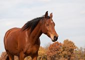 Red bay horse taking a nap in fall pasture