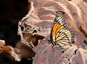 Brilliant Viceroy butterfly resting on a ragged and dry water lily leaf - opposites in nature