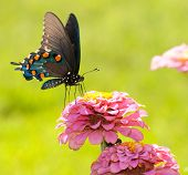 Beautiful Green Swallowtail butterfly feeding on a flower on a bright sunny day against green backgr
