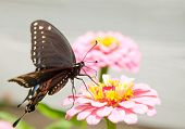Ventral view of a Black Eastern Swallowtail feeding on a delicate pink Zinnia