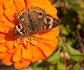 Colorful Buckeye butterfly feeding on an orange Zinnia flower