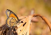 Brilliant orange, black and white Viceroy butterfly resting on a dry Waterlily leaf in late autumn s
