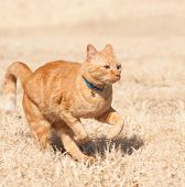 pic of bounce house  - Orange tabby cat running full speed across a grass field - JPG