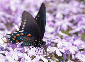 Pipevine Swallowtail butterfly feeding on purple flowers in early spring