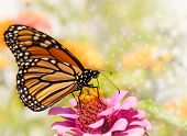 Dreamy image of a Monarch butterfly on a pink Zinnia