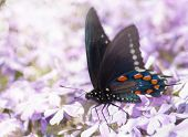 Dreamy image of a Pipevine Swallowtail butterfly feeding on purple flowers