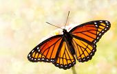 Dreamy image of a Viceroy butterfly in a garden