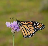 Danaus plexippus, Monarch butterfly, on a purple cornflower against spring green background