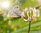 kleine Reakirt blauer Schmetterling auf weiß-Klee